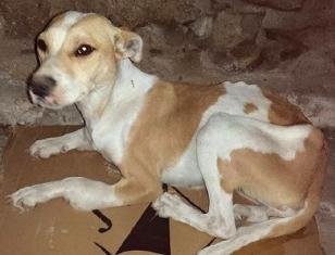 La perra Hope tiene un a�o y medio de edad y es muy cari�osa; a pesar del �xito de la cirug�a, padecer� una cojera cr�nica - FOTO: AnimalAmes
